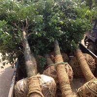 移栽杨梅浏阳杨梅树价格6-30杨梅树价格、杨梅小苗价格
