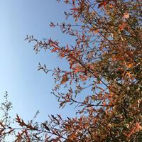 美国水栎、美国紫树、美国红栎