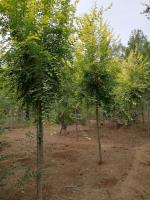 金叶榆,山东榆树基地,榆树,榆树价格*低