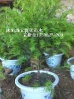 红豆杉,池杉,水杉,落羽杉