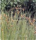 三棱草,伊乐藻,水鳖
