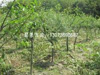 垂丝海棠、红叶石楠、金森女贞、水果蓝、金叶六道木
