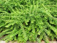 匍枝亮绿忍冬.