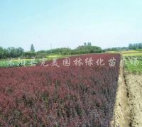 供应红叶小檗绿化苗木