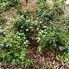 批发茶花,蚊母,月季,海桐,夹竹桃
