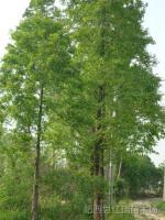 10-30公分水杉
