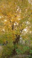 15-50公分黄连木