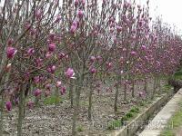 玉兰种子、红花继木种子、秋枫种子、香柏种子