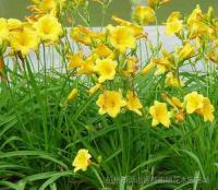 松果菊、金光菊