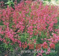 红花钓钟柳