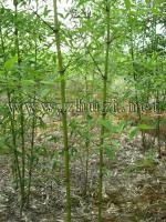黄槽竹、黄杆京竹、淡竹、桂竹、水竹