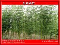 红竹、乌哺鸡竹、白哺鸡竹