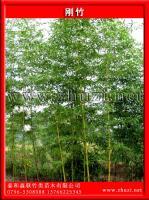 刚竹、早园竹(雷竹)、高节竹