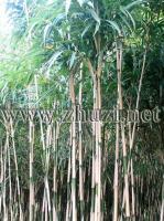 长叶竹、短穗竹、斑苦竹