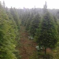 南方红豆杉,宝塔型红豆杉・圣诞树红豆杉・