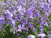 二月蘭野花種子