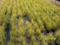 大量供应细茎针茅