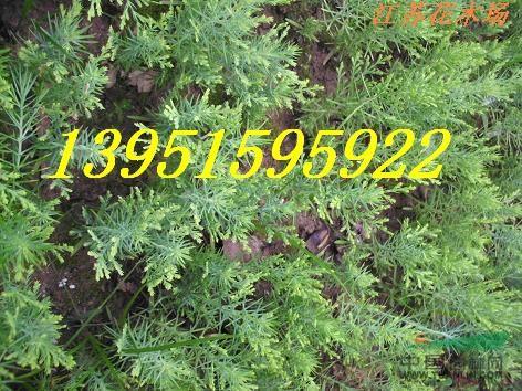 刺槐种子育苗方法