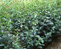 杜鹃 红花继木红叶石楠 桂花各种品种绿化小苗