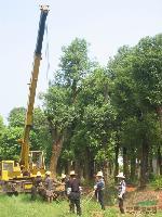 再生香樟,切杆香樟,大香樟,香樟树,8-50公分香樟,小香樟
