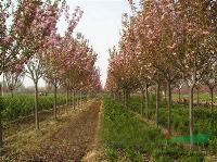 樱花,日本樱花,樱花价格,湖南樱花,樱花批发,湖南樱花基地