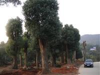 购香樟树,香樟大树,湖南大树,批发湖南香樟,香樟行道树