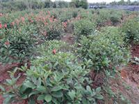 红叶石楠球,球形苗,色块苗,工程苗,绿化苗,精品球,毛球