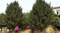 造型罗汉松供应,大罗汉松,罗汉松大树,哪里罗汉松多