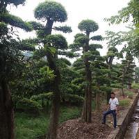 造型榆树,精品造型榆树,榆树,移栽榆树,湖南榆树,榆树价格