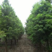 供应湖南水杉3-5-6-8-10-12-15公分水杉
