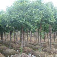 急售18-20公分移栽香樟,低价出售香樟,现货供应香樟树
