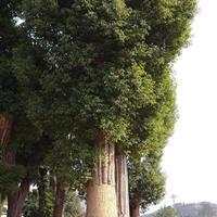 株洲香樟,香樟生树,湖南香樟行情,湖南香樟供应