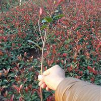 红叶石楠扦插苗,红叶石楠条,红叶石楠树,湖南树苗