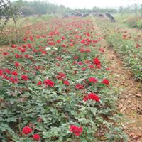 月季,月季花,红花月季,大花月季盆苗,钻石月季袋苗