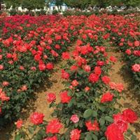 湖南红花月季,丰花月季杯苗,钻石月季,大花月季,月季批发