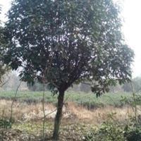 石楠球,中华石楠,安徽省肥西县三岗刘湾苗圃大量供应石楠球