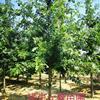 娜塔栎基地批发2公分-5公分-10公分工程南京娜塔栎
