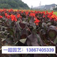 紫叶美人蕉 优质紫叶美人蕉特价批发