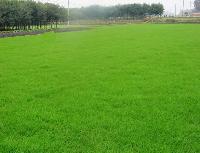 高羊茅草坪,5米雪松,13公分白玉兰