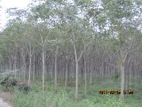 七叶树,马褂木,白玉兰,红玉兰,紫叶李,红头臭椿