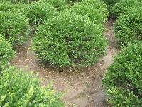 金叶女贞球 红叶小檗球 大叶黄杨球等各种球类苗木