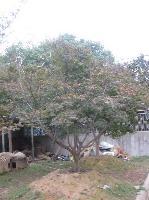 红枫(冠3-5米)
