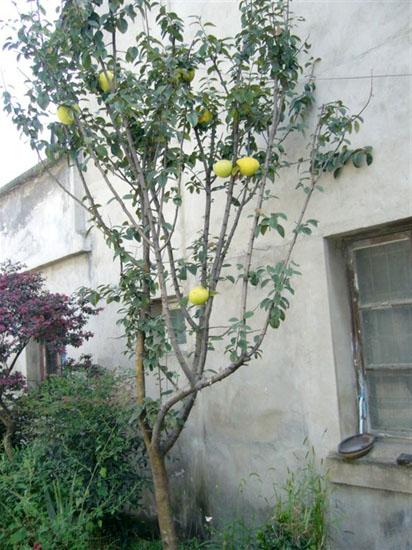 木瓜 树 木瓜 树 图片 徐州碧波 园林 绿化工程有