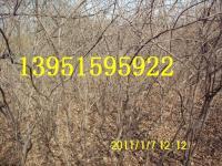 10万棵爬山虎 紫藤 美国地锦 无刺蔷薇 给你问好啦