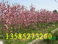 紅白黃紫玉蘭,櫻花,廣玉蘭、速生楊、紫薇、國槐
