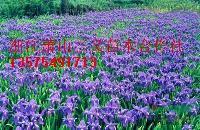 大兰花鸢尾、小兰花鸢尾、二月兰、千鸟花