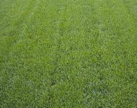 马尼拉草坪、百慕大草坪、高羊茅草坪