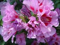 凤仙花(重瓣)、高雪轮、古代希、旱金莲