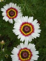 花菱草、花环菊、花葵、花毛茛