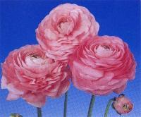 花葵、花毛茛、鸡冠花、虞美人